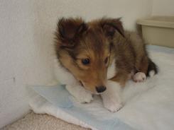 puppyryu